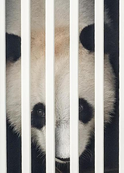 Feng Yi, one of two giant pandas on loan from China, in its cage at MASkargo near Kuala Lumpur International Airport in Sepang on May 21, 2014