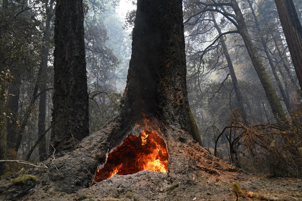 FILE - In this Aug. 24, 2020, file photo, fire burns in the hollow of an old-growth redwood tree in Big Basin Redwoods State Park, Calif. Eight months after a lightning siege ignited more than 650 wildfires in Big Basin Redwoods State Park the state's oldest park, which was almost entirely ablaze, is doing what nature does best: recovering.(AP Photo/Marcio Jose Sanchez, File)