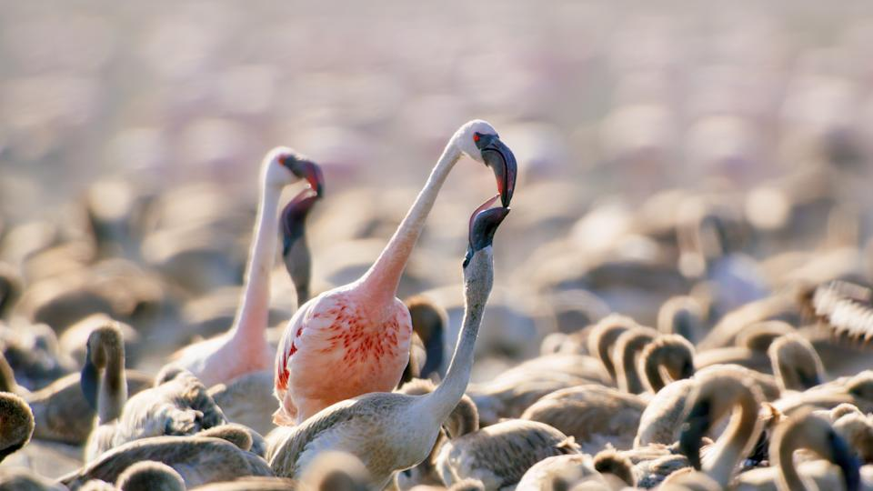 The volcanic flamingos of Lake Natron in A Perfect Planet. (Still courtesy of BBC)