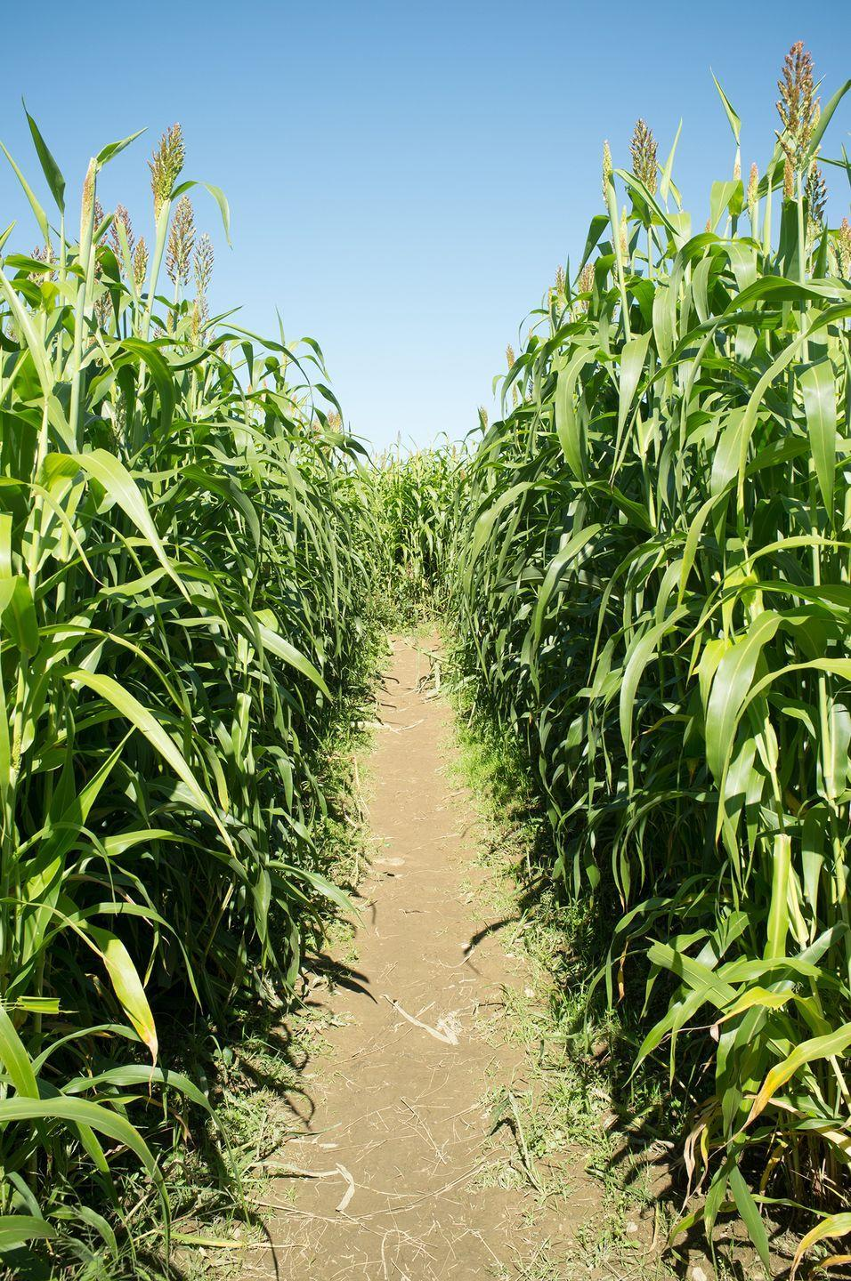 """<p>Illinois residents can celebrate their state's 200th birthday with a journey through <a href=""""https://richardsonadventurefarm.com/AdventureFarm/CornMaze"""" rel=""""nofollow noopener"""" target=""""_blank"""" data-ylk=""""slk:Richardson Farm"""" class=""""link rapid-noclick-resp"""">Richardson Farm</a>'s bicentennial-themed corn maze. With more than 28 acres of corn fields, you can easily spend a few hours to a whole day at this Spring Grove attraction. </p><p><a class=""""link rapid-noclick-resp"""" href=""""https://go.redirectingat.com?id=74968X1596630&url=https%3A%2F%2Fwww.tripadvisor.com%2FAttractions-g36726-Activities-Spring_Grove_Illinois.html&sref=https%3A%2F%2Fwww.countryliving.com%2Flife%2Ftravel%2Fg22717241%2Fcorn-maze-near-me%2F"""" rel=""""nofollow noopener"""" target=""""_blank"""" data-ylk=""""slk:PLAN YOUR TRIP"""">PLAN YOUR TRIP</a></p>"""