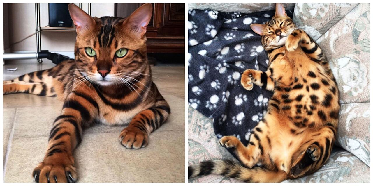 This Is Officially the Most Beautiful Bengal Cat That Has Ever Lived