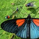 The Altinote ozoneme have velvety black wings with red patches at the base of the forewings, and are mostly found in cloudforests (AFP/JOAQUIN SARMIENTO)