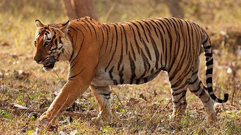 Prince of Bandipur Becomes the 30th Tiger to Die in 2017