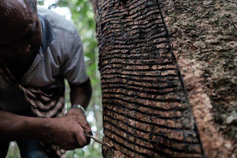 Rubber tapper Raimundo Pereira, makes a gash to collect sap from a rubber tree in a forest in Xapuri, Acre State, in northwestern Brazil, on October 8, 2014
