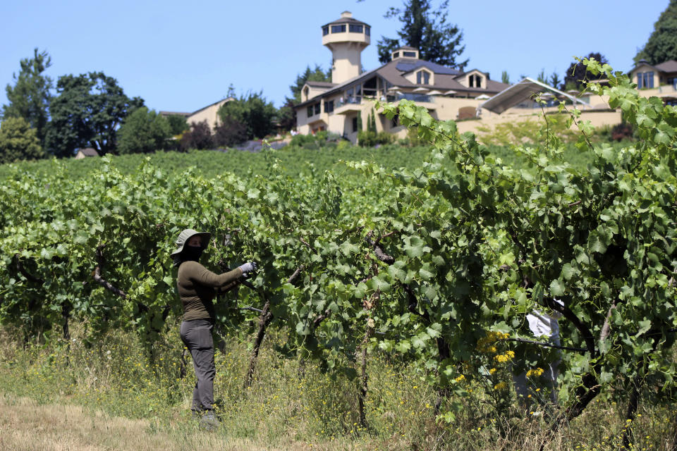 Jacqueline Soto Venegas, of Salem, Oregon, works on Thursday, July 8, 2021, pulling leaf cover over pinot noir grapes to protect them from the sun, at Willamette Valley Vineyards in Turner, Ore. After a recent record heat wave and more hot weather expected, workers in several Pacific Northwest wineries will trim less of the leaf canopy to keep the grapes shaded and prevent sunburn. Winemakers are worried about what's still ahead this summer amid a historic drought tied to climate change and wildfire risk. (AP Photo/Andrew Selsky)