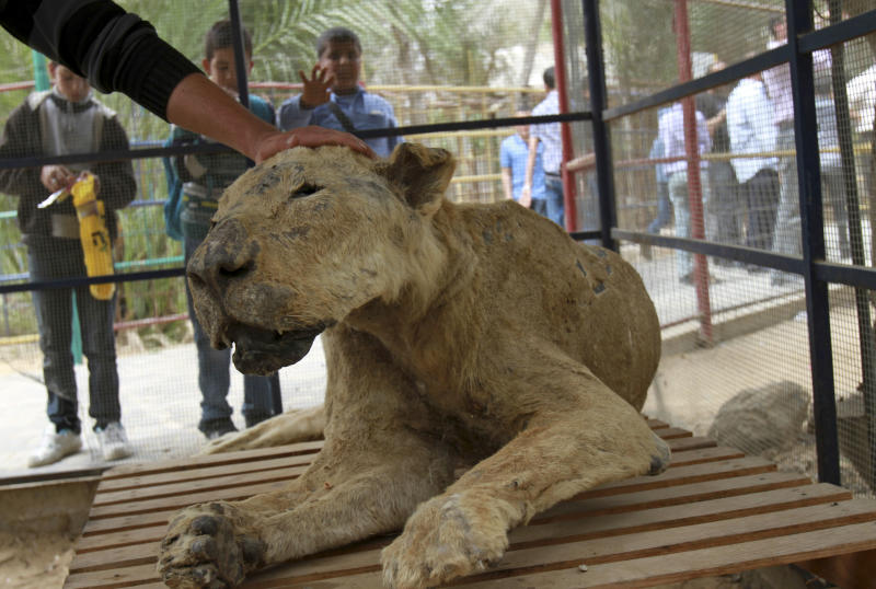 In this photo taken Wednesday, April 18, 2012 Palestinian schoolchildren watch zoo owner Mohammed Awaida pet a mummified lion at the Khan Younis zoo, southern Gaza Strip. There is an afterlife for animals at Gaza's Khan Younis zoo. Animals who die in the dilapidated park come to life again as stuffed creatures. But because the taxidermy in the impoverished Palestinian territory relies on techniques available on the Internet, the unusual wildlife experience of petting a lion, tiger or crocodile can be a grim one.(AP Photo/Adel Hana)