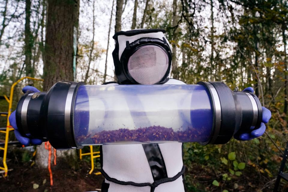 TOPSHOT - Sven Spichiger, Washington State Department of Agriculture managing entomologist, displays a canister of Asian giant hornets vacuumed from a nest in a tree behind him on October 24, 2020, in Blaine, Washington. - Scientists in Washington state discovered the first nest earlier in the week of so-called murder hornets in the United States and worked to wipe it out Saturday morning to protect native honeybees. Workers with the state Agriculture Department spent weeks searching, trapping and using dental floss to tie tracking devices to Asian giant hornets, which can deliver painful stings to people and spit venom but are the biggest threat to honeybees that farmers depend on to pollinate crops. (Photo by Elaine Thompson / POOL / AFP) (Photo by ELAINE THOMPSON/POOL/AFP via Getty Images)