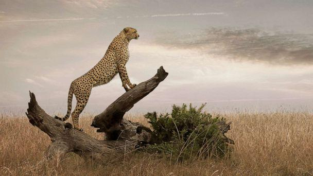PHOTO: A cheetah in Masai Mara National Park, Kenya. (Angelo Cavalli/Getty Images)