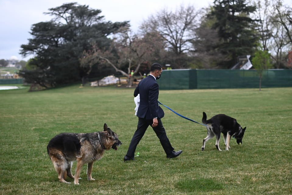 President Joe Biden and first lady Jill Biden's dogs Champ, left, and Major are seen on the South Lawn of the White House in Washington, Wednesday, March 31, 2021. (Mandel Ngan/Pool via AP)