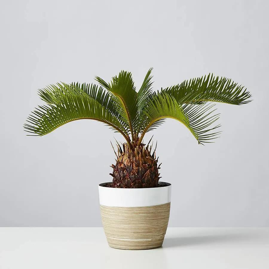 """<p><strong>Plants.com</strong></p><p>plants.com</p><p><strong>$44.99</strong></p><p><a href=""""https://go.redirectingat.com?id=74968X1596630&url=https%3A%2F%2Fwww.plants.com%2Fp%2Fsago-palm-177107%3Fpla%3D9963%26gclid%3DCjwKCAjwo4mIBhBsEiwAKgzXOGT2-8GmU1TKHUeW2pL5GYlfopVQLBAGO61EH3qx-uGql3DgNDDCwhoCBxAQAvD_BwE&sref=https%3A%2F%2Fwww.cosmopolitan.com%2Flifestyle%2Fg37168860%2Fbest-plants-for-balcony%2F"""" rel=""""nofollow noopener"""" target=""""_blank"""" data-ylk=""""slk:Shop Now"""" class=""""link rapid-noclick-resp"""">Shop Now</a></p><p>Bring all the tropical vibes to your home with this drop-dead gorgeous palm plant. It prefers indirect light, loves humid conditions, and doesn't need to have its thirst quenched <em>that </em>often.</p>"""