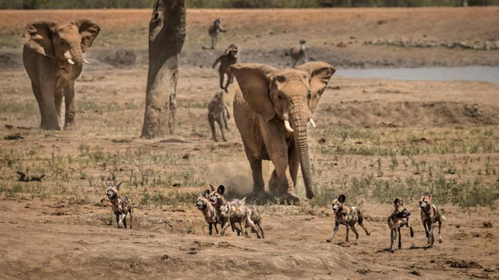 Photographer Kevin Dooley captured these stunning images of an elephant chasing off wild dogs to protect the herd at South Africa's Madikwe Game Reserve.