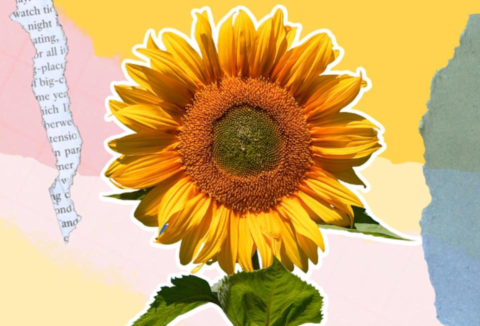 New study examines why sunflowers always face east