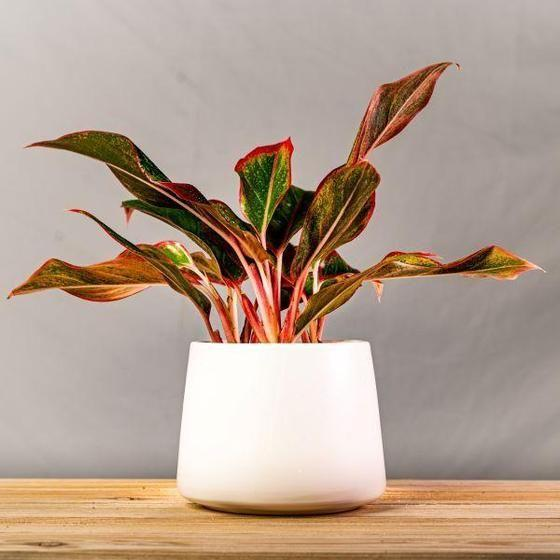 "<p>gardengoodsdirect.com</p><p><strong>$21.95</strong></p><p><a href=""https://gardengoodsdirect.com/products/aglaonema-firecracker?variant=32095388860458&gclid=Cj0KCQiAtqL-BRC0ARIsAF4K3WHLjJ2nZ2GcMfr4uIUpzohPTSEWEmLoqFk3EYYpCEz1xyoNXJdILsIaAlZyEALw_wcB"" rel=""nofollow noopener"" target=""_blank"" data-ylk=""slk:Shop Now"" class=""link rapid-noclick-resp"">Shop Now</a></p>"