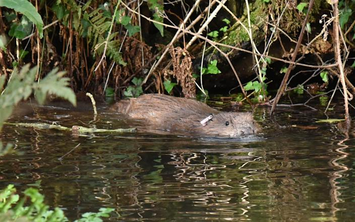 The beavers are the first to be released into the wild by the National Trust in its 125-year history