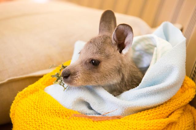 An injured kangaroo after being rescued in Victoria, Australia