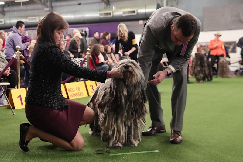 A Bergamasco shepherd breed is judged during the 143rd Westminster Kennel Club Dog Show in New York, Feb. 11, 2019. (Photo: Shannon Stapleton/Reuters)