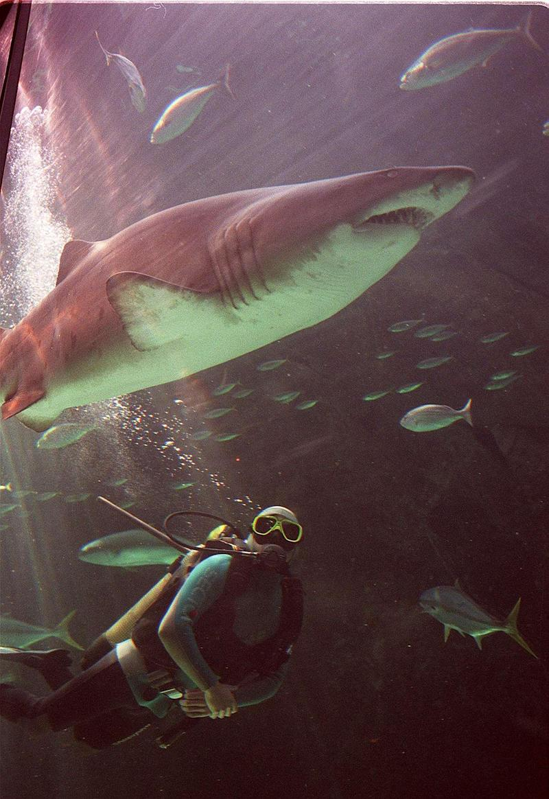 Despite their terrifying name, these sharks are fairly sociable creatures and tolerant of humans (AFP/Getty Images)
