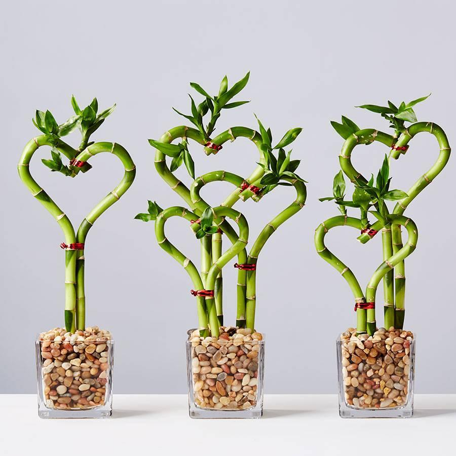 """<h2><a href=""""https://www.plants.com/"""" rel=""""nofollow noopener"""" target=""""_blank"""" data-ylk=""""slk:Plants.com"""" class=""""link rapid-noclick-resp"""">Plants.com</a></h2><br><strong>Best For: Succulents</strong><br>Shop house plants, hanging plants, air plants, and floor plants aplenty on <a href=""""https://www.plants.com/"""" rel=""""nofollow noopener"""" target=""""_blank"""" data-ylk=""""slk:Plants.com"""" class=""""link rapid-noclick-resp"""">Plants.com</a> — you can also browse the site's dedicated <a href=""""https://www.plants.com/c/valentines-day-plants"""" rel=""""nofollow noopener"""" target=""""_blank"""" data-ylk=""""slk:Valentine's Day Plant Delivery"""" class=""""link rapid-noclick-resp"""">Valentine's Day Plant Delivery</a> section. <br><br><strong>Deal: </strong>Score yourself a cool <strong><a href=""""https://www.plants.com/c/succulents"""" rel=""""nofollow noopener"""" target=""""_blank"""" data-ylk=""""slk:20% off"""" class=""""link rapid-noclick-resp"""">20% off </a></strong><a href=""""https://www.plants.com/c/succulents"""" rel=""""nofollow noopener"""" target=""""_blank"""" data-ylk=""""slk:its succulent selection"""" class=""""link rapid-noclick-resp"""">its succulent selection</a> using the promo code<strong> SUCCULENT20. </strong><br><br><strong>Plants.com</strong> Sweet Heart Bamboo, $, available at <a href=""""https://go.skimresources.com/?id=30283X879131&url=https%3A%2F%2Fwww.plants.com%2Fp%2Fsweet-heart-bamboo-177023"""" rel=""""nofollow noopener"""" target=""""_blank"""" data-ylk=""""slk:Plants.com"""" class=""""link rapid-noclick-resp"""">Plants.com</a>"""
