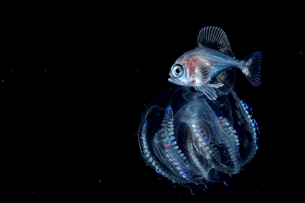 <p>Larval hyperoglyphe japonica with jellyfish. (Photo: Ace Wu/Caters News) </p>