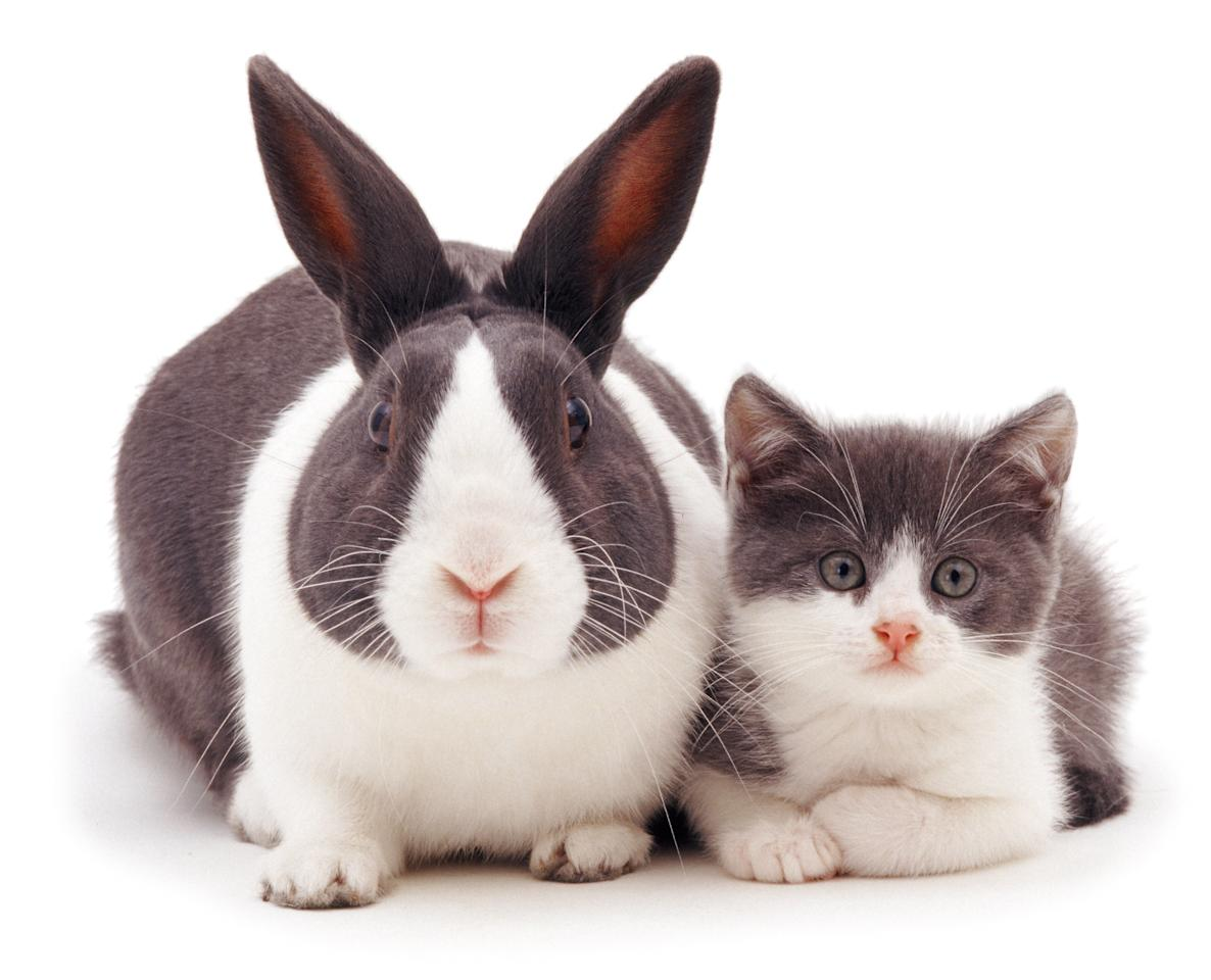 <p>Blue Dutch rabbit rabbit and matching kitten. (Photo: Warren photographic/Caters News) </p>