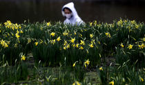 <p>A pedestrian wearing a face covering due to the Covid-19 pandemic walks past blooming daffodils in a park in London, Friday, Feb. 19, 2021, as the lockdown in Britain continues. Britain has given a first vaccine shot to over 15 million people, almost a quarter of the population.(AP Photo/Frank Augstein)</p>