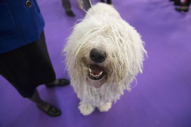 <p>Betty Boop, a komondor, is seen after competing in the 141st Westminster Kennel Club Dog Show, Tuesday, Feb. 14, 2017, in New York. (AP Photo/Mary Altaffer) </p>