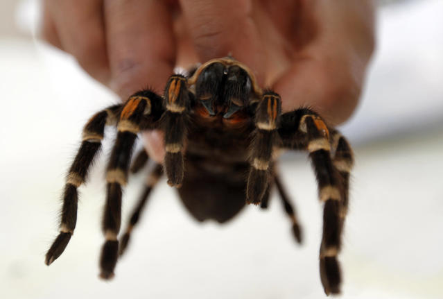 <p>A veterinarian holds a Mexican Tarantula, which had been rescued with other animals while being trafficked illegally, at the Federal Wildlife Conservation Center on the outskirts of Mexico City May 20, 2011. According to Mexico's Federal Wildlife Conservation Department, at least 2,500 different animals are rescued annually in the country, 70 percent from illegal animal trafficking within and outside the country and 30 percent from domestic captivity. (Photo: Carlos Jasso/Reuters) </p>