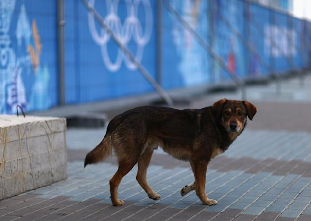 SOCHI, RUSSIA - FEBRUARY 05: A dog walks through Olympic Park ahead of the Sochi 2014 Winter Olympics on February 5, 2014 in Sochi, Russia. (Photo by Clive Mason/Getty Images)