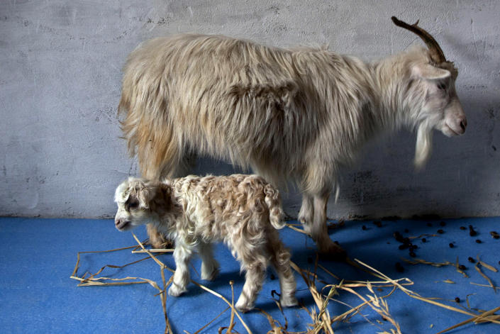 Noori, a cloned pashmina goat, stands near her surrogate mother inside a sheep breeding center at Sher-e-Kashmir University of Agricultural Sciences and Technology in Alastang, some 25 kilometers (15 miles) from Srinagar, India, Wednesday, March 14, 2012. Scientists at the university successfully cloned the world's first pashmina goat, prized for its fine wool, according to news reports. (AP Photo/ Dar Yasin)