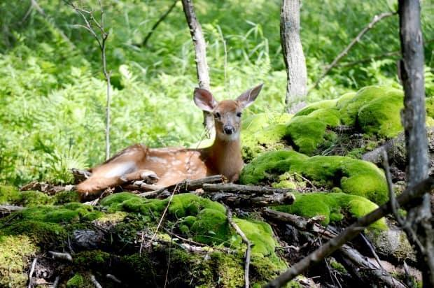 A white-tailed deer at Rondeau Provincial Park in Chatham-Kent.