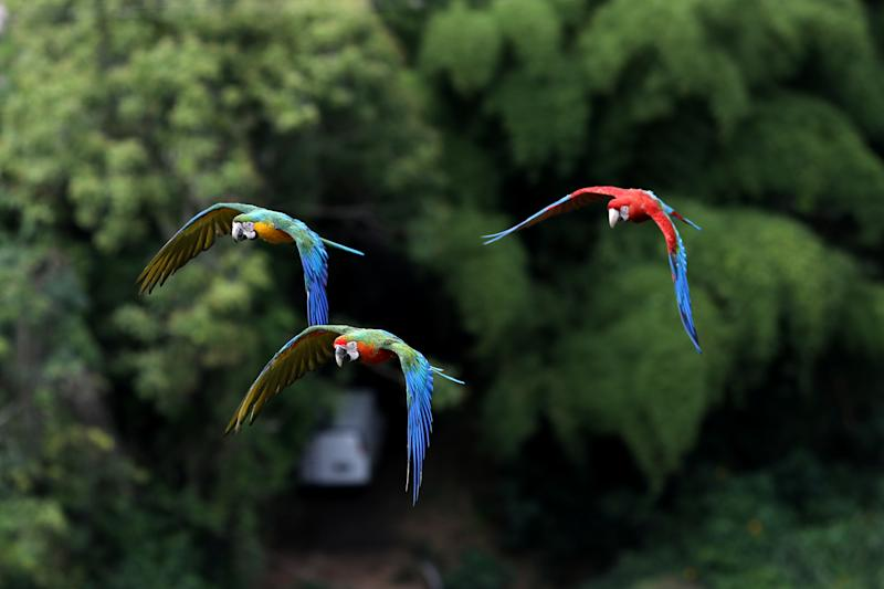 Macaws fly near Vittorio Poggi'­s house outside Caracas, Venezuela, June 18, 2019. (Photo: Manaure Quintero/Reuters)