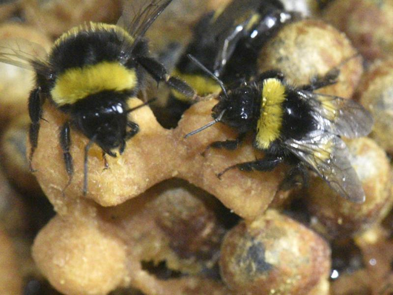 Certain chemicals produced by the pupae could be causing their carers (pictured) to be able to function on less sleep: Rachel Rosen