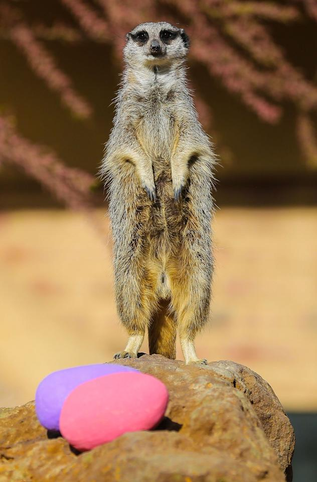 <p>Robbie the meerkat has a go at an Easter egg hunt with hollowed out papier mache eggs filled with vegetables at London Zoo. (Rex features) </p>