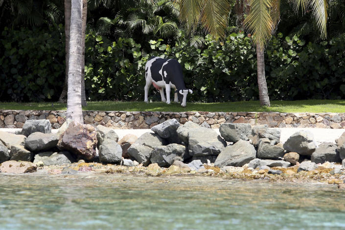 """A life-size Holstein-Friesian cow statue that locals say was moved to a different spot weekly and sometimes even daily, stands on Little St. James Island, in the U. S. Virgin Islands, a property owned by Jeffrey Epstein, Wednesday, Aug. 14, 2019. Tourists and locals alike are powering up boats to take a closer look at a place nicknamed """"Pedophile Island' that lies just off the southeast coast of St. Thomas. (AP Photo/Gabriel Lopez Albarran)"""