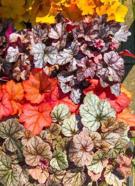 "<p>With ruffled leaves and colorful foliage, heuchera, also called coral bells, has dainty flower spikes that appear in spring to mid-summer. But the plant is grown mainly for its colorful, frilly foliage. Give this perennial a few years to show its stuff. Heuchera needs mostly shade, though some kinds tolerate full sun.</p><p><a class=""link rapid-noclick-resp"" href=""https://www.amazon.com/Perennial-Farm-Marketplace-Heuchera-Pudding/dp/B07DPCNRYN/ref=sr_1_4?dchild=1&keywords=heuchera&qid=1611101477&s=lawn-garden&sr=1-4&tag=syn-yahoo-20&ascsubtag=%5Bartid%7C10063.g.35370706%5Bsrc%7Cyahoo-us"" rel=""nofollow noopener"" target=""_blank"" data-ylk=""slk:SHOP HEUCHERA"">SHOP HEUCHERA</a></p>"