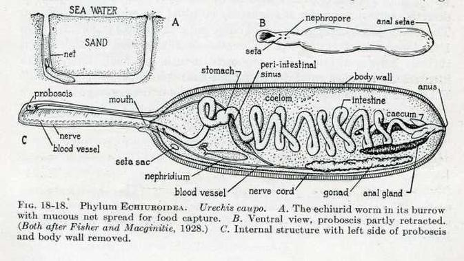 Anatomi Penis Fish / Fat Innkeeper Worms (General Zoology via The Maple Press Company)
