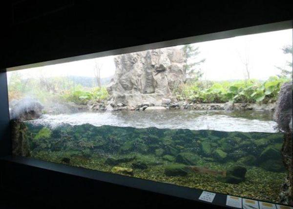 The other side of this tank is outdoors. You can see fish here season by season.