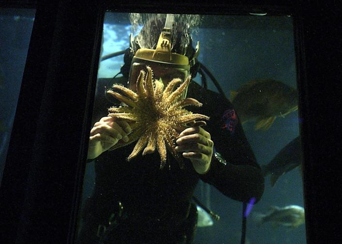 A diver shows a sea star during a show at the Undersea Gardens at the Historic Bayfront in Newport.