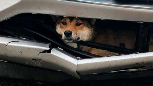 PHOTO: Coco, a Shiba inu, is pictured while trapped inside the bumper of a car after it was struck by a driver in upstate New York, Oct. 28, 2019. (Rotterdam Police Department via AP)