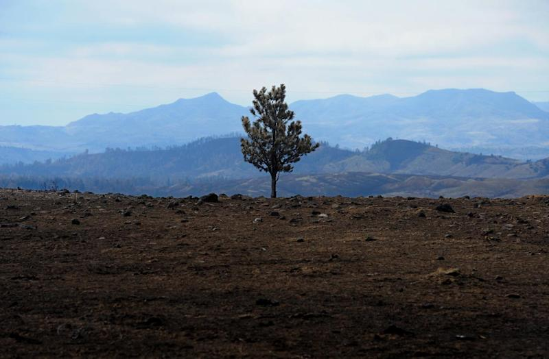 Scorched earth surrounds a lone pine tree atop a hill along U.S. Highway 212 east of Lame Deer, Mont., in the wake of the Ash Creek fire, Friday, July 6, 2012. To date the Ash Creek fire is the largest wildfire in the state of Montana, having burned 249,562-acres at last report by InciWeb on Sunday, July 8, 2012. (AP Photo/Great Falls Tribune, Rion Sanders)