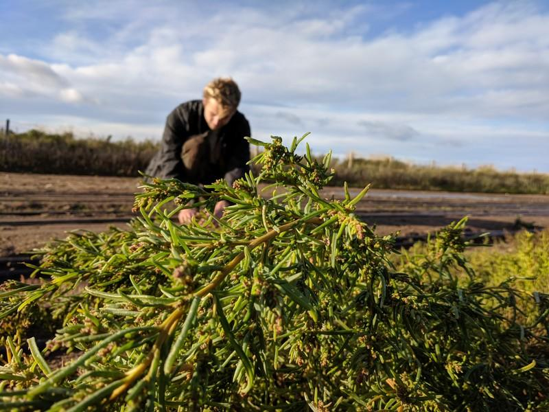 Startup helps Scottish farmers grow gourmet plants with sea water