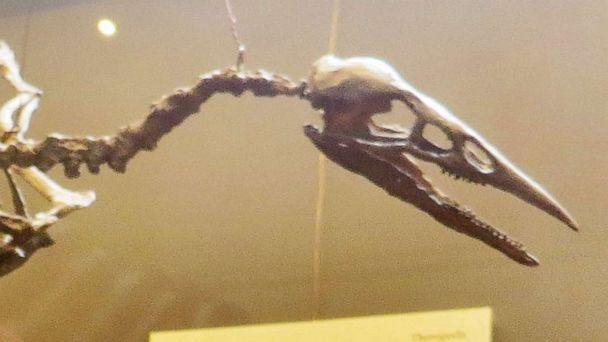 PHOTO: An example of the skeleton of an Ichthyornis is displayed in an undated stock image. (Ghedo via Wikipedia)