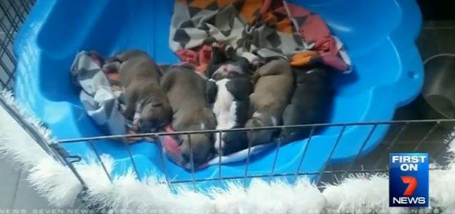The five young puppies were stolen from a Melbourne backyard. Source: 7 News.