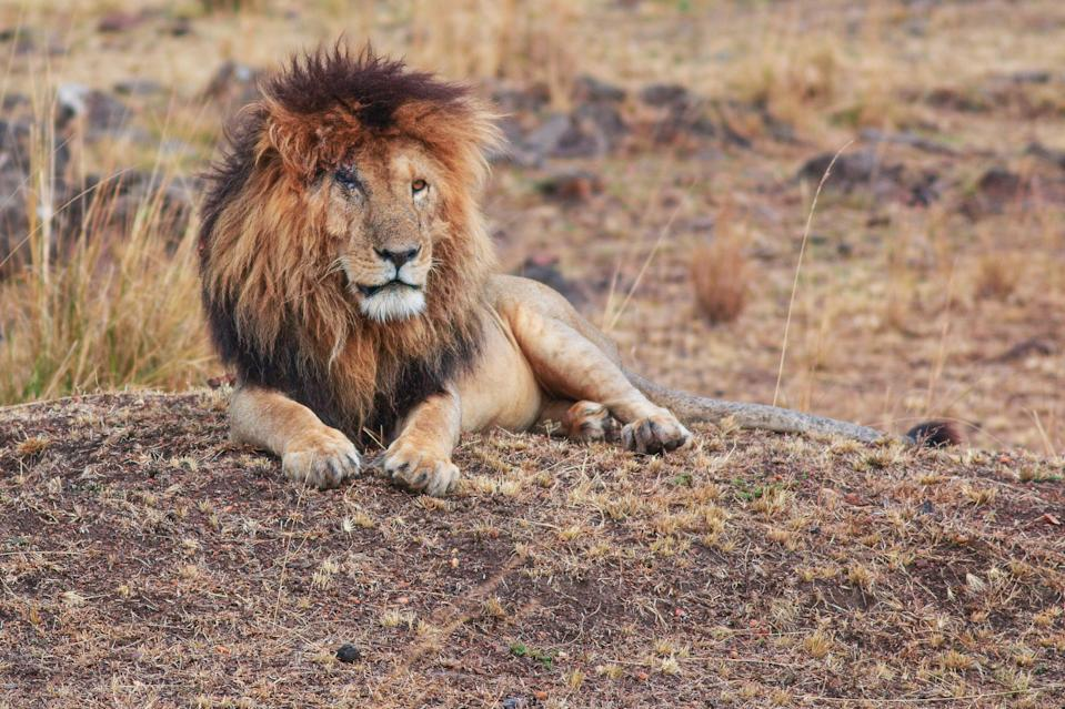 Scarface the lion, in the Maasai Mara Game Reserve in 2018 (Getty Images/iStockphoto)