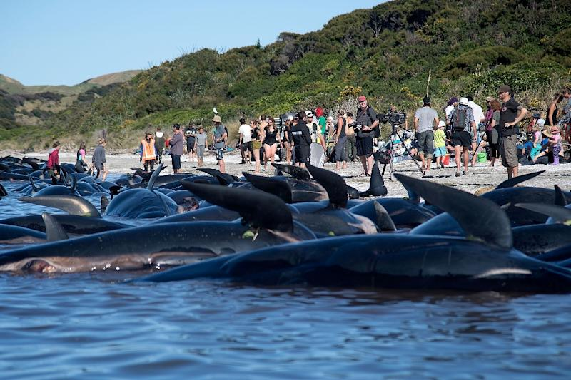 Hundreds of volunteers form human chain to prevent whales from beaching