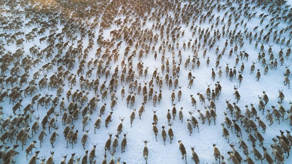 aerial view or over 3000 reindeer running in a tundra. big herd of reindeer scattered running all in a same direction taking a slight turn to the right.