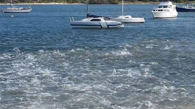 Hundreds of salmon thrashed about in the water in a feeding frenzy in the Swan River. Photo: Facebook