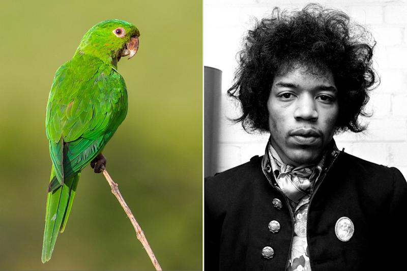 Jimi Hendrix isn't responsible for all the parakeets in Britain after all