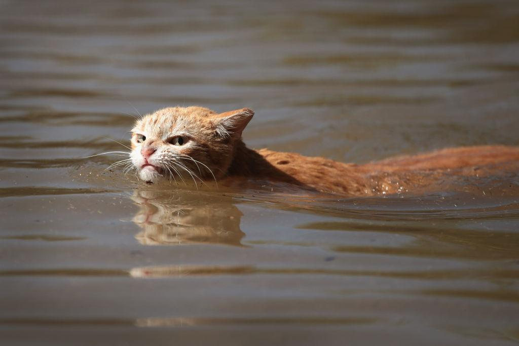 <p></p><p>A cat tries to find dry ground around an apartment complex after it was inundated with water following Hurricane Harvey in Houston, Texas. Harvey. (Photo by Scott Olson/Getty Images) </p><p></p>