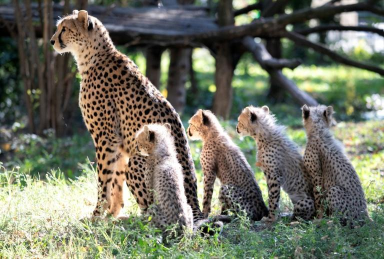 The cheetah once roamed as a top predator across most of Africa, the Middle East, central Asia and India, but today occupies less than 10 percent of its historic range (AFP/JOE KLAMAR)